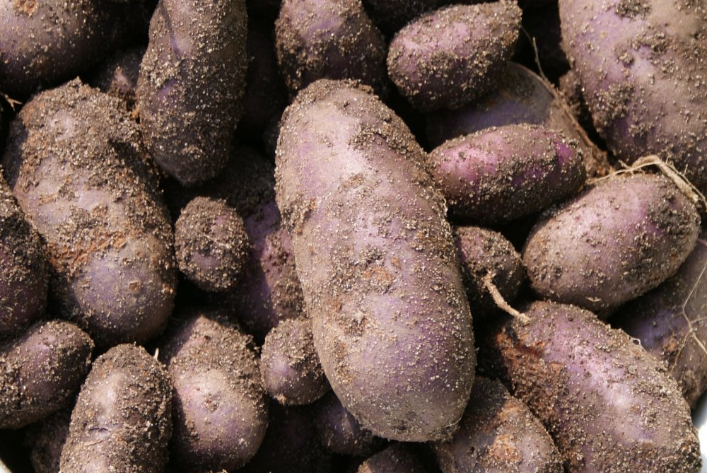 Ученики и картофель.